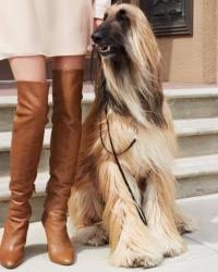 This is Adar the Afghan Hound, a fancy, elegant movie dog from the animal talent agency Performing Animal Troupe. | As an animal actor Adar works on movies, television, commercials, photo shoots and other productions. | We have experienced studio dog trainers and wranglers.