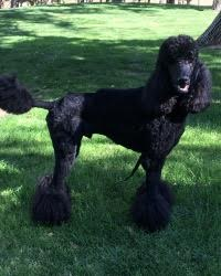 This is Bruce Lee the Standard Poodle, a fancy movie dog from the animal talent agency Performing Animal Troupe. | As an animal actor Bruce Lee works on movies, television, commercials, photo shoots and other productions. | We have experienced studio dog trainers and wranglers.