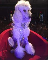 This is Diamond the Standard Poodle, a fancy movie dog from the animal talent agency Performing Animal Troupe. | As an animal actor Diamond works on movies, television, commercials, photo shoots and other productions. | We have experienced studio dog trainers and wranglers.