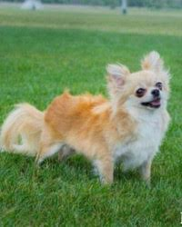 This is Macy the long haired Chihuahua, a small fluffy movie dog from the animal talent agency Performing Animal Troupe. | As an animal actor Woody works on movies, television, commercials, photo shoots and other productions. | We have experienced studio dog trainers and wranglers.