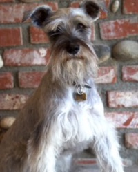This is Rex the Miniature Schnauzer, a small movie dog from the animal talent agency Performing Animal Troupe. | As an animal actor Rex the Schnauzer works on movies, television, commercials, photo shoots and other productions. | We have experienced studio dog trainers and wranglers.