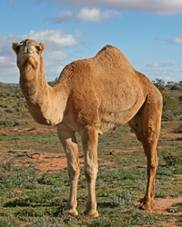 Camel actor available through animal talent agency Performing Animal Troupe. | We provide camels and other exotic hoofstock for movies, television, commercials, photo shoots and other productions. | We have experienced exotic animal trainers and wranglers.