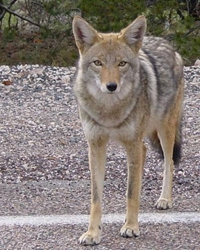 Coyote actor available through animal talent agency Performing Animal Troupe. | We provide trained coyotes for movies, television, commercials, photo shoots and other productions. | We have experienced exotic animal trainers and wranglers.
