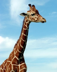 Giraffe actor available through animal talent agency Performing Animal Troupe. | We provide giraffes and other exotic hoofstock for movies, television, commercials, photo shoots and other productions. | We have experienced exotic animal trainers and wranglers.