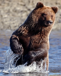 Grizzly Bear actor available through animal talent agency Performing Animal Troupe. | We provide trained Grizzly, Kodiak and brown bears, for movies, television, commercials, photo shoots and other productions. | We have experienced exotic animal trainers and wranglers.