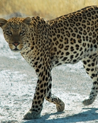Leopard actor available through animal talent agency Performing Animal Troupe. | We provide spotted leopards and other big cats for movies, television, commercials, photo shoots and other productions. | We have experienced exotic animal trainers and wranglers.