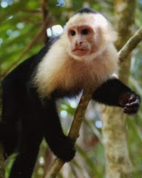 Monkey actor available through animal talent agency Performing Animal Troupe. | We provide trained capuchin monkeys, spider monkeys and other primates for movies, television, commercials, photo shoots and other productions. | We have experienced exotic animal trainers and wranglers.