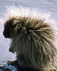 Porcupine actor available through animal talent agency Performing Animal Troupe. | We provide trained porcupines and other woodland animals for movies, television, commercials, photo shoots and other productions. | We have experienced exotic animal trainers and wranglers.
