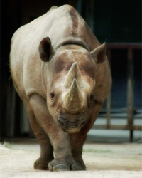 Rhino actor available through animal talent agency Performing Animal Troupe. | We provide rhinoceros and other exotic animals for movies, television, commercials, photo shoots and other productions. | We have experienced exotic animal trainers and wranglers.