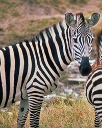 Zebra actor available through animal talent agency Performing Animal Troupe. | We provide zebras and other exotic hoofstock for movies, television, commercials, photo shoots and other productions. | We have experienced exotic animal trainers and wranglers.