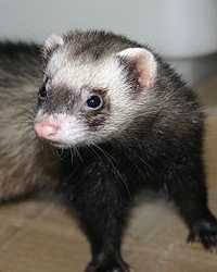 Ferret actor available through animal talent agency Performing Animal Troupe. | We provide ferrets and other exotic animals for movies, television, commercials, photo shoots and other productions. | We have experienced exotic animal trainers and wranglers.