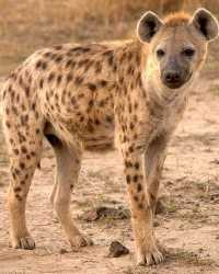 Hyena actor available through animal talent agency Performing Animal Troupe. | We provide laughing hyenas and other exotic animals for movies, television, commercials, photo shoots and other productions. | We have experienced exotic animal trainers and wranglers.