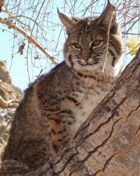 Bobcat & Lynx available through animal talent agency Performing Animal Troupe. | We provide bobcats, lynx, servals, ocelots and other small exotic cats for movies, television, commercials, photo shoots and other productions. | We have experienced exotic animal trainers and wranglers.