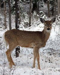 Movie deer available through animal talent agency Performing Animal Troupe. | We provide cougars, pumas, mountain lions and other big cats for movies, television, commercials, photo shoots and other productions. | We have experienced exotic animal trainers and wranglers.