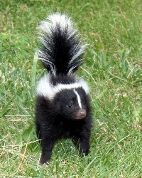 Skunk actor available through animal talent agency Performing Animal Troupe. | We provide skunks and other woodland animals for movies, television, commercials, photo shoots and other productions. | We have experienced exotic animal trainers and wranglers.