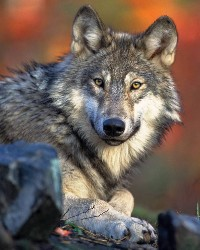 Wolf actor available through animal talent agency Performing Animal Troupe. | We provide trained wolves for movies, television, commercials, photo shoots and other productions. | We have experienced exotic animal trainers and wranglers.