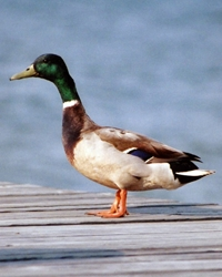 Duck available through animal talent agency Performing Animal Troupe. | We provide trained ducks, ducklings and geese for movies, television, commercials, photo shoots and other productions. | We have experienced bird and waterfowl trainers and wranglers.