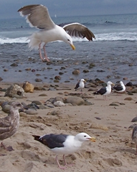 Seagull available through animal talent agency Performing Animal Troupe. | We provide trained seagulls and other ocean birds for television, commercials, photo shoots and other productions. | We have experienced bird trainers, wranglers and falconers.
