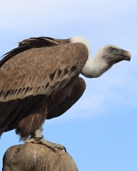 Vulture available through animal talent agency Performing Animal Troupe. | We provide trained vultures, buzzards and other birds of prey for television, commercials, photo shoots and other productions. | We have experienced bird trainers, wranglers and falconers.