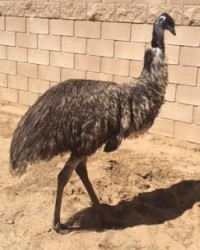 Emu available through animal talent agency Performing Animal Troupe. | We provide trained emus, ostriches and other exotic birds for television, commercials, photo shoots and other productions. | We have experienced bird trainers and wranglers.
