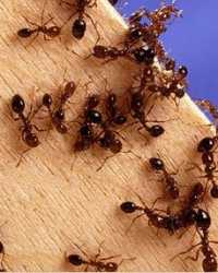 Ants available through animal talent agency Performing Animal Troupe. | We provide ants and other bugs and insects for television, commercials, photo shoots and other productions. | We have experienced bug and insect wranglers.