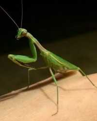 Praying mantis available through animal talent agency Performing Animal Troupe. | We provide mantises and other bugs and insects for television, commercials, photo shoots and other productions. | We have experienced bug and insect wranglers.
