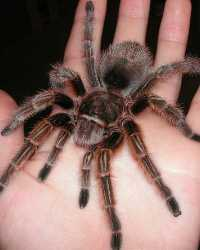 Tarantula available through animal talent agency Performing Animal Troupe. | We provide spiders, tarantulas, scorpions  and other arachnids, bugs and insects for television, commercials, photo shoots and other productions. | We have experienced bug and insect wranglers.