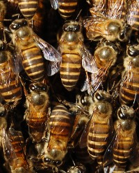 Bees available through animal talent agency Performing Animal Troupe. | We provide flies, bees, honeybees, wasps and other bugs and insects for television, commercials, photo shoots and other productions. | We have experienced bug and insect wranglers and bee-keepers.