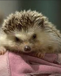 Trained hedgehog available through animal talent agency Performing Animal Troupe. | We provide hedgehogs and other critters for television, commercials, photo shoots and other productions. | We have experienced small animal trainers and wranglers.