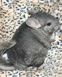 Trained chinchilla available through animal talent agency Performing Animal Troupe. | We provide chinchillas and other critters for television, commercials, photo shoots and other productions. | We have experienced small animal trainers and wranglers.