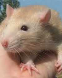 Trained rat available through animal talent agency Performing Animal Troupe. | We provide wild rats, lab rats, pet rats, hairless rats and mice for television, commercials, photo shoots and other productions. | We have experienced rodent trainers and wranglers.