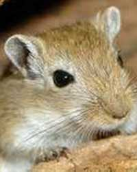 Trained gerbil available through animal talent agency Performing Animal Troupe. | We provide gerbils and other critters for television, commercials, photo shoots and other productions. | We have experienced small animal trainers and wranglers.