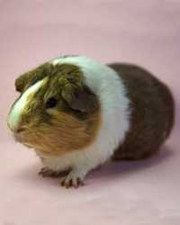 Trained guinea pig available through animal talent agency Performing Animal Troupe. | We provide guinea pigs and other critters for television, commercials, photo shoots and other productions. | We have experienced small animal trainers and wranglers.