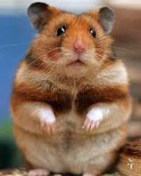 Trained hamster available through animal talent agency Performing Animal Troupe. | We provide hamsters and other rodents and critters for television, commercials, photo shoots and other productions. | We have experienced rodent trainers and wranglers.
