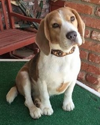 This is Carlie the Beagle, a small movie dog from the animal talent agency Performing Animal Troupe. | As an animal actor Carlie works on movies, television, commercials, photo shoots and other productions. | We have experienced studio dog trainers and wranglers.