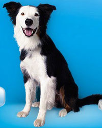 This is Buddy the Border Collie, a fluffy movie dog from the animal talent agency Performing Animal Troupe. | As an animal actor Buddy works on movies, television, commercials, photo shoots and other productions. | He is an excellent Frisbee dog. | We have experienced studio dog trainers and wranglers.
