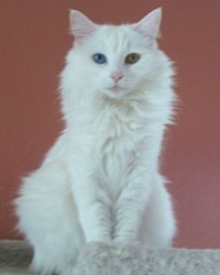 Lisa the white long-haired cat actor is from the animal talent agency Performing Animal Troupe. | This fluffy trained cat works on movies, television, commercials, photo shoots and other productions. | We have experienced studio cat trainers and wranglers.