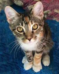 Lilly the calico tabby cat actor is from the animal talent agency Performing Animal Troupe. | This multi-colored trained cat works on movies, television, commercials, photo shoots and other productions. | We have experienced studio cat trainers and wranglers.