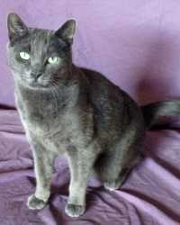 Nick the Russian Blue cat actor is from the animal talent agency Performing Animal Troupe. | This gray trained cat works on movies, television, commercials, photo shoots and other productions. | We have experienced studio cat trainers and wranglers.
