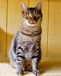 Roscoe the brown tabby cat actor is from the animal talent agency Performing Animal Troupe. | This trained striped acting cat works on movies, television, commercials, photo shoots and other productions. | We have experienced studio cat trainers and wranglers.