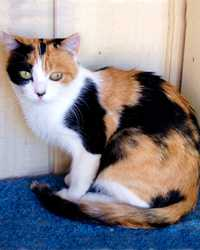 Smores the calico cat actor is from the animal talent agency Performing Animal Troupe. | This multi-colored trained cat works on movies, television, commercials, photo shoots and other productions. | We have experienced studio cat trainers and wranglers.