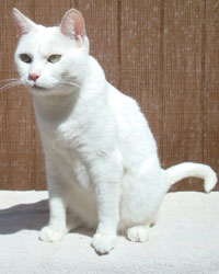 Tristan the white cat actor is from the animal talent agency Performing Animal Troupe. | This trained cat works on movies, television, commercials, photo shoots and other productions. | We have experienced studio cat trainers and wranglers.