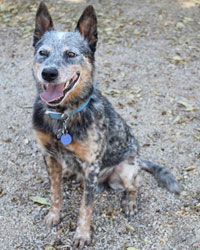 This is Cowboy the Australian Cattledog, a movie dog from the animal talent agency Performing Animal Troupe. | As an animal actor Cowboy the Heeler works on movies, television, commercials, photo shoots and other productions. | He is an excellent Frisbee dog. | We have experienced studio dog trainers and wranglers.