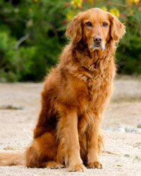This is Owen the Golden Retriever, a fluffy movie dog from the animal talent agency Performing Animal Troupe. | As an animal actor Owen works on movies, television, commercials, photo shoots and other productions. | We have experienced studio dog trainers and wranglers.