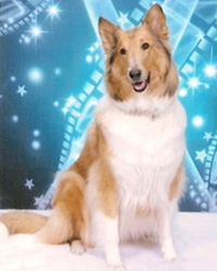 This is Lassie the Collie, a fluffy movie dog from the animal talent agency Performing Animal Troupe. | As an animal actor Lassie works on movies, television, commercials, photo shoots and other productions. | Lassie also does dog Agility. | We have experienced studio dog trainers and wranglers.