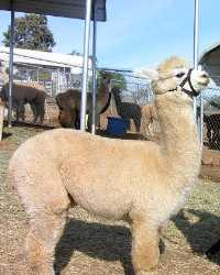 Alpaca actor provided by animal talent agency Performing Animal Troupe. | Our trained llamas and alpacas work on movies, television, commercials, photo shoots and other productions. | We have experienced livestock wranglers and trainers.