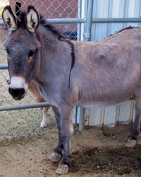 Donkey actor provided by animal talent agency Performing Animal Troupe. | Our trained donkeys and burros work on movies, television, commercials, photo shoots and other productions. | We have experienced livestock wranglers and trainers.