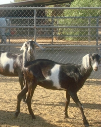 Goats available through animal talent agency Performing Animal Troupe. | We provide goats and goat herds for movies, television, commercials, photo shoots and other productions. | We have experienced livestock trainers, wranglers and herders.