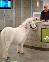 Pony actor provided by animal talent agency Performing Animal Troupe. | Our trained ponies and miniature horses work on movies, television, commercials, photo shoots and other productions. | We have experienced livestock wranglers and trainers.