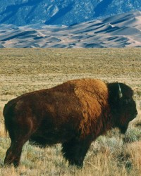 Bison actor provided by animal talent agency Performing Animal Troupe. | Our trained bison and buffalo work on movies, television, commercials, photo shoots and other productions like the Christmas and holiday productions. | We have experienced livestock wranglers and trainers.